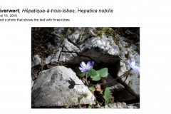 Wildflowers of Leysin and Vicinity Vol. 1 (Spring 2015)rfs_Page_014