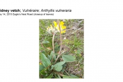 Wildflowers of Leysin and Vicinity Vol. 1 (Spring 2015)rfs_Page_015