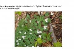 Wildflowers of Leysin and Vicinity Vol. 1 (Spring 2015)rfs_Page_021