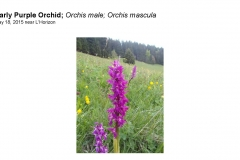 Wildflowers of Leysin and Vicinity Vol. 1 (Spring 2015)rfs_Page_037