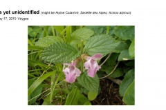Wildflowers of Leysin and Vicinity Vol. 1 (Spring 2015)rfs_Page_053