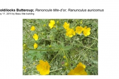 Wildflowers of Leysin and Vicinity Vol. 1 (Spring 2015)rfs_Page_080