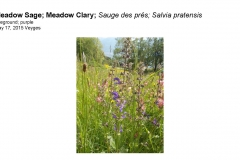 Wildflowers of Leysin and Vicinity Vol. 1 (Spring 2015)rfs_Page_087